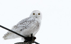Spiritual (Bill G Moore) Tags: naturephotography birdofprey snowyowl raptor wild wildlife canon illinois winter billmoore