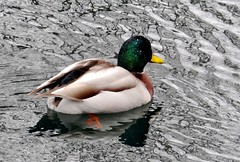Rainy day duck (EcoSnake) Tags: ducks mallards waterfowl wildlife water rain february winter idahofishandgame naturecenter