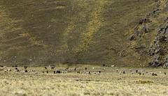 Llamas and Alpacas (xd_travel) Tags: peru nov2008 altiplano andes travelbytrain andeanexplorer llama alpaca