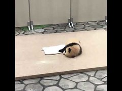 Cute baby panda too tired to walk (tipiboogor1984) Tags: aww cute cat funny dog youtube