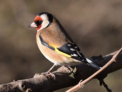 Goldfinch (doranstacey) Tags: nature wildlife birds goldfinch rspb oldmoor reserve tamron 150600mm nikon d5300