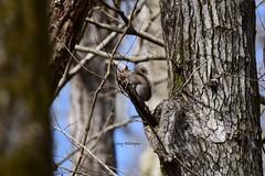Squirrel-Grey_0637 (2)e (Porch Dog) Tags: 2019 garywhittington kentucky nikond750 nikkor200500mm february winter lbl landbetweenthelakes betweentherivers nature wildlife outdoors