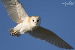 Barn Owl Flying Overhead (AndyNeal) Tags: animal wildlife nature bird birdinflight birdofprey owl barnowl essex essexwildlifetrust naturereserve abbertonreservoir