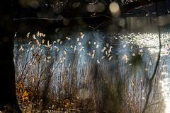 20190216-105 (sulamith.sallmann) Tags: gewässer pflanzen botanik brandenburg deutschland europa gras gräser hoppegarten hönow lake märkischoderland natur pflanze see wasser sulamithsallmann