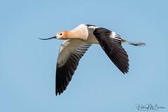 American avocet in flight (Hilary Bralove) Tags: avocet birdsinflight americanavocet oregon birds pacificnorthwest wildlife nikon wildbirds birder