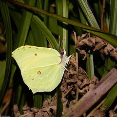 Brimstone (PedroLanders) Tags: yelverton berealston denhamwoods devon butterfly insect