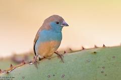 Blue Waxbill, Uraeginthus angolensis (Kevin B Agar) Tags: birds bluewaxbill southafrica uraeginthusangolensis