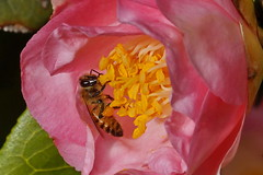 ...honey bee (Jim Atkins Sr) Tags: honeybee bee camellia camelliajaponica apis insect flower newbern northcarolina sony sonya58 sonyphotographing macro closeup