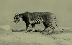Anglų lietuvių žodynas. Žodis tigress reiškia n tigrė lietuviškai.