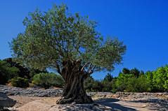 Un olivier majestueux (2) (didier95) Tags: olivier arbre verspontdugard gard paysage bleu occitanie