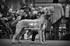 img_8082 (HoundPhotographer) Tags: irishwolfhound wolfhound hound crufts crufts2019 showdog dogshow