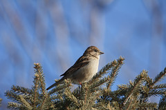 House Sparrow (grafxbylisa) Tags: sparrow sparrows housesparrow housesparrows bird birds birdsofalberta birdsofcalgary birdsofcanada calgary calgaryphotographer birdphotography smallbird cutebird grafxbylisa