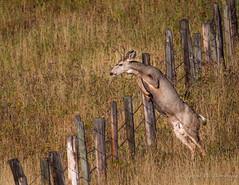 Mule Deer - Hurdles Part One (Turk Images) Tags: mountain foothillsfall muledeer odocoileushemionus pinchercreek watertonnationalparkarea alberta mammals buck grasslands