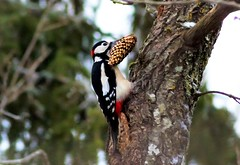 pico picapinos / great spooted woodpecker (jjulio2311) Tags: woodpecker carpintero pajaro bird ave bosque wood suecia sweden nieve snow invierno winter blanco white green árbol tree trunk tronco nature bellota acorn animal naturephotography coth5