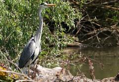 Grey Heron -Ardea cinerea - Danube Delta Romania (15) (Ann Collier Wildlife & General Photographer) Tags: danubedelta riverdanube romania greyheron ardeacinerea heron birds bird naturalhistory nature