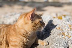 IMG_3449 Rubio, Mallorca (Fernando Sa Rapita) Tags: baleares canon canoneos eos6d mallorca rubio sarapita sigma sigma35mm sigmaart sigmalens animal cat gatito gato kitten mascota pet