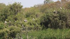 Painted Storks - Nesting & Resting