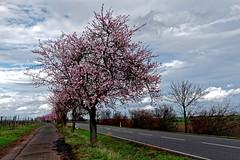 Mandelblüte 17.3.2019 (julia_adriana78) Tags: mandelblüten rosa weinstrase landschaft rheinlandpfalz