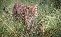 Shopping for Dinner? (helenehoffman) Tags: africa kenya pantheraparduspardus felidae mammal conservationstatusvulnerable cat feline africanleopard leopard bigcat maasaimaranationalreserve animal
