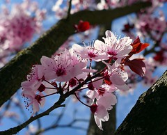 Llegó la primavera a la ciudad todo ha cambiado de color... (alfonsocarlospalencia) Tags: segovia rosa ramas primavera troncos flores azul paseo molino abantos luz alegría cielo desenfoque macro composición eresma árbol naturaleza blanco colores profundidad hojas