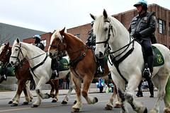 FOUR HORSEMEN (MIKECNY) Tags: horse equine albany police mountedpatrol parade stpatricksday officer