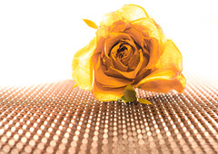 The Golden Rose. (CWhatPhotos) Tags: cwhatphotos rose color colour bright colors colours flower camera photographs photograph pics pictures pic picture image images foto fotos photography artistic that have which contain lens olympus penf mzuiko 30mm prime macro closeup flickr decaying gold golden yellow withered dry dried out beautiful decay dead