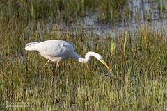 21032019-_LUC6099 (Luc TORRES) Tags: auvergnerhônealpes echassier faune france grandeaigrette nature oiseaux pays savoie étangdesaigrettes