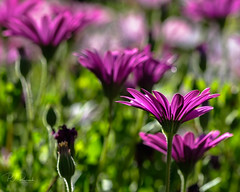 African Daisies (Perry J. Resnick) Tags: pjresnick perryjresnick pjresnickgmailcom pjresnickphotographygmailcom ©2019pjresnick ©pjresnick light atmosphere atmospheric black fujifilm digital white fuji backlight reflection fujinon xf resnick dramatic drama green highlights lagunawoodsca xf80mmf28 80mm flower flowers purple daisies africandaisies blur blurry