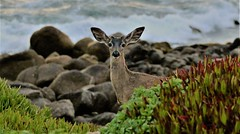 April2Image9735 (Michael T. Morales) Tags: deer ptpinos pacificgrove montereybay nature muledeer