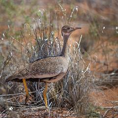 Northern-Black-Korhaan (petraherdlitschke) Tags: africa animals bird trappe wildlife kalahari canon7dmark2 canonef70200