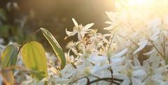 Sybelmynës I (Tonton Gilles) Tags: fleurs sybemynë tolkien hommage proxiphoto proxiphotographie photo rapprochée lumière du soir heure dorée feuilles ombres éclat rayon de soleil bokeh