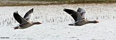 J78A0265 (M0JRA) Tags: swans robins birds humber ponds lakes people trees fields walks farms traylers ducks