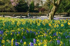 Frühlings Wiese (KaAuenwasser) Tags: hyazinthen narzissen osterglocken blüten frühling wiese blütenmeer pflanzen landschaft blumenlandschaft stadtgartenkarlsruhe stadtgarten park garten anlage ort platz stelle