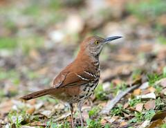 Brown Thrasher (Ed Sivon) Tags: america canon nature wildlife wild western southwest flickr texas bird nevada