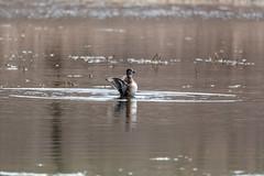 fanniestebbins2019-30 (gtxjimmy) Tags: nikond7500 nikon d7500 tamron 150600mm spring massachusetts newengland birds bird longmeadow fanniestebbinswildlifesanctuary duck ringneckedduck