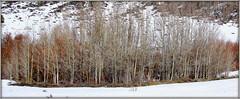 ASPEN GROVE (Gary Post) Tags: aspen grove