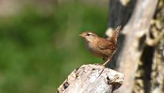 Wren (winterkoning) (moniquedoon) Tags: birds nature wildlife vogels natuur
