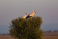 DelPréstamo - 2019   -   1-6 (Del_Préstamo) Tags: naturaleza cigüeñas aves reservanatural