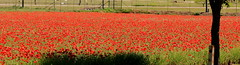 Poppies (austexican718) Tags: centraltexas hillcountry wildflower red flower landscape flora