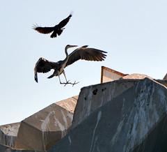 HERON,   MUSCAT,  OMAN,  ARABIA (vermillion$baby) Tags: blueheron bird muscat oman seabird seagull uae gull gulls ocean seabirds