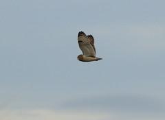 IMG_9903 (monika.carrie) Tags: monikacarrie wildlife seo shortearedowl forvie scotland owl