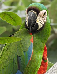 Ara severus (Wildlife and nature - Colombia) Tags: guacamayeja guacamayacariseca araseverus chestnutfrontedmacaw macaw guacamaya colorful birds