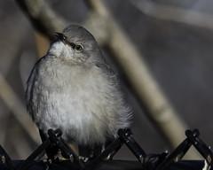 Fluffy_SAF0082 (sara97) Tags: bird copyright©2019saraannefinke missouri nature photobysaraannefinke saintlouis wildlife