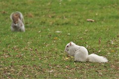 Albino Grey Squirrel (GrahamParryWildlife) Tags: mk2 7d 150600 sigma grahamparrywildlife uk kent rspb animal outdoor viewing photo flickr add new sunlight depth field up blue dof kentwildlife marsh leuctistic albino pink white pigment sciurus carolinensis squirrel grey gray fgdf