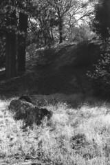 Zigzag (squirtiesdad) Tags: miller canyon trail logs grass hillside pines oaks forest woods outdoors mountains hiking diyfilmscanning selfdeveloped nikon fm epson v600 blackandwhite bw bn monochrome analog analogue arista aristaedu iso100 35mm film