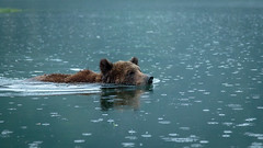 Grizzly Bear Swimming in Khutzeymateen Provincial Park, British Columbia (Anne McKinnell) Tags: ursusarctoshorribilis animal bear britishcolumbia brownbear grizzlybear khutzemateen khutzeymateen provincialpark wildlife