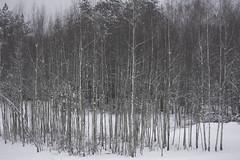 quicksilver (Mindaugas Buivydas) Tags: lietuva lithuania color winter december tree trees birch verkiųmiškas verkiaiforest verkiųregioninisparkas verkiairegionalpark snow shallowdepthoffield mindaugasbuivydas