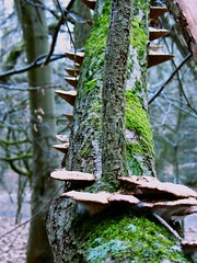 Hadley Wood February 2012 (beareye2010) Tags: barnet hadleywood hertfordshire herts rottingwood trees fungus mushrooms fungi