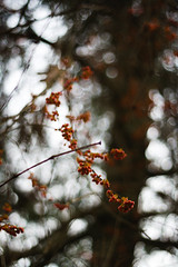 berries_portrait (Your Average Comrade) Tags: shallowdepthoffield berries bokeh nature