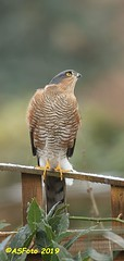 Apex Local Predator (2) (andywsx) Tags: canon eos7dmk2 100400 14extender sparrowhawk fence raptor